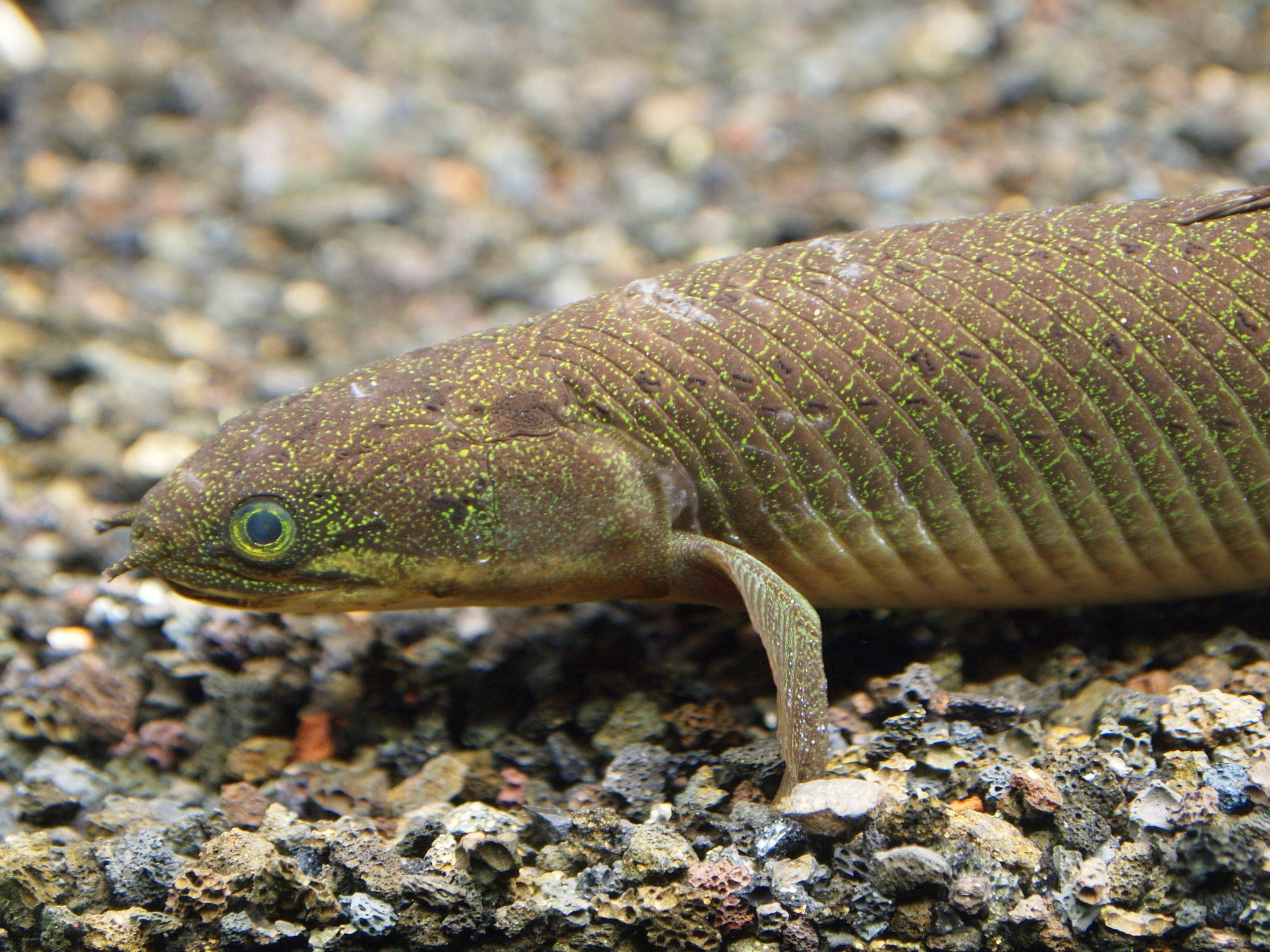 魚を陸上で育てたら歩くようになるのか? に分子古生物学者が答える